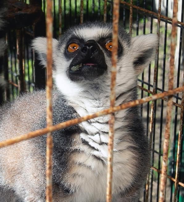 Julien the Lemur
