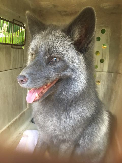 Lala the Silver Fox